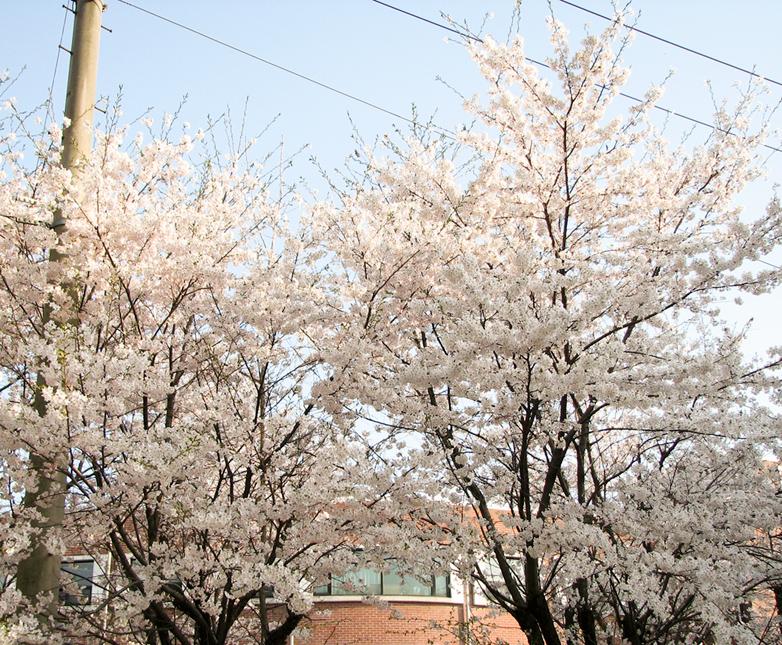 기숙사 뒤 벚꽃